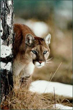 Cougar peeking